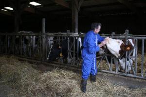 agriculteur vache loire atlantique